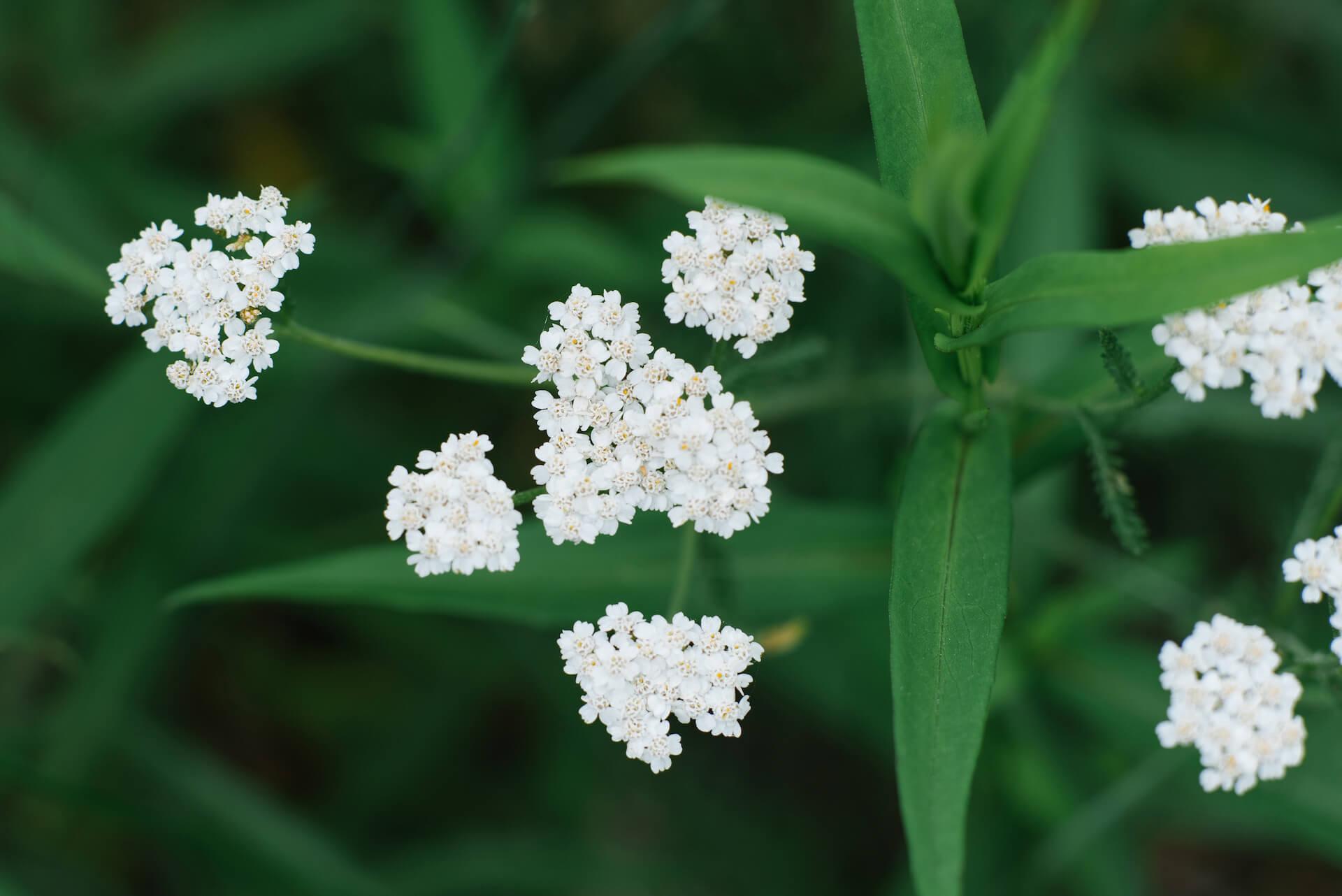 A közönséges bojtorján latinul achillea millefolium