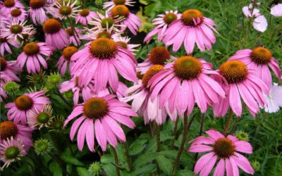 Mire jó a bíbor kasvirág (echinacea purpurea)?