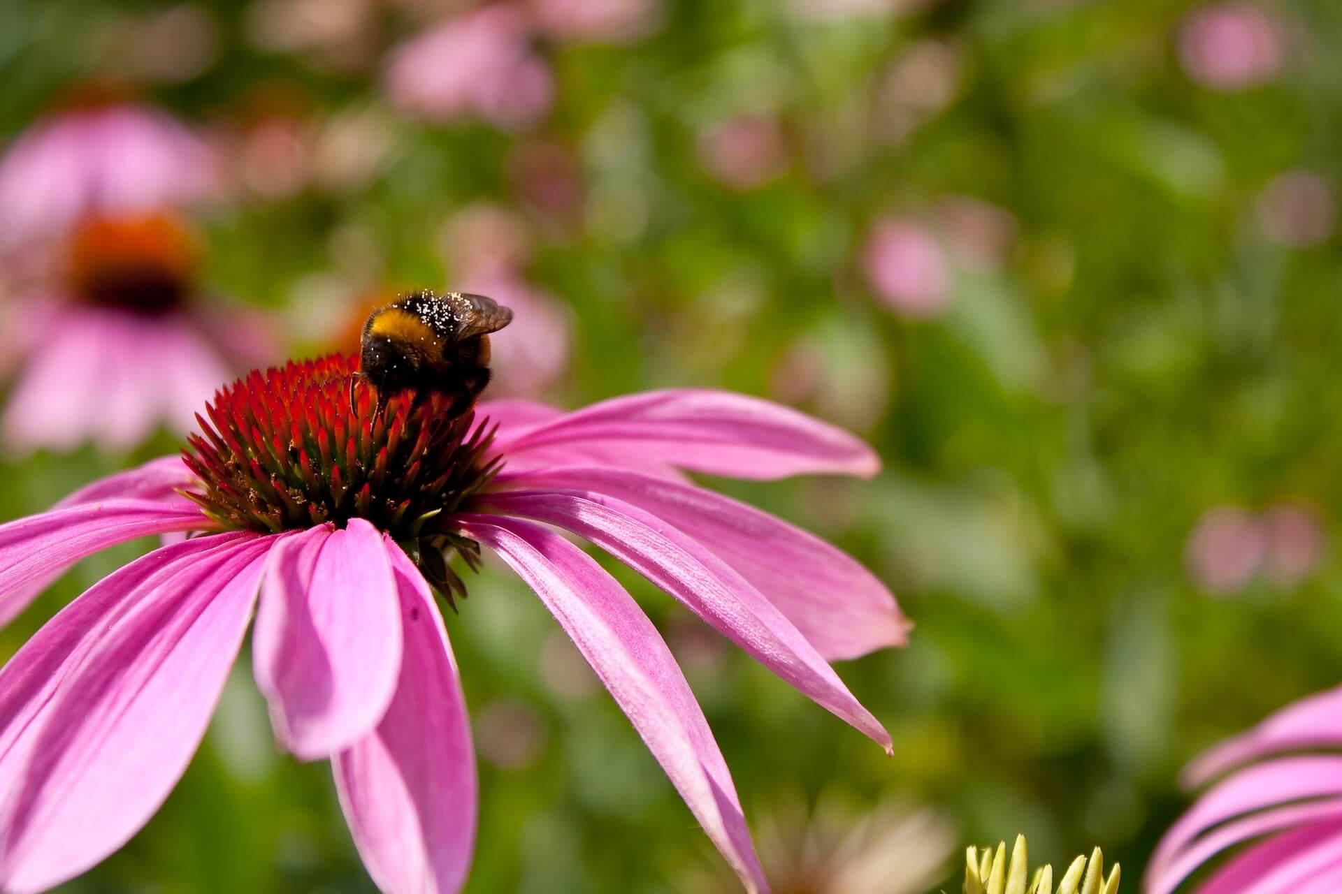 Mire jó az echinacea purpurea?