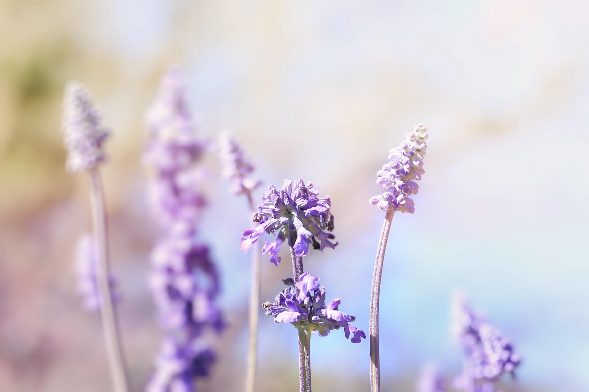 Az orvosi zsálya virágai ibolyaszínűek