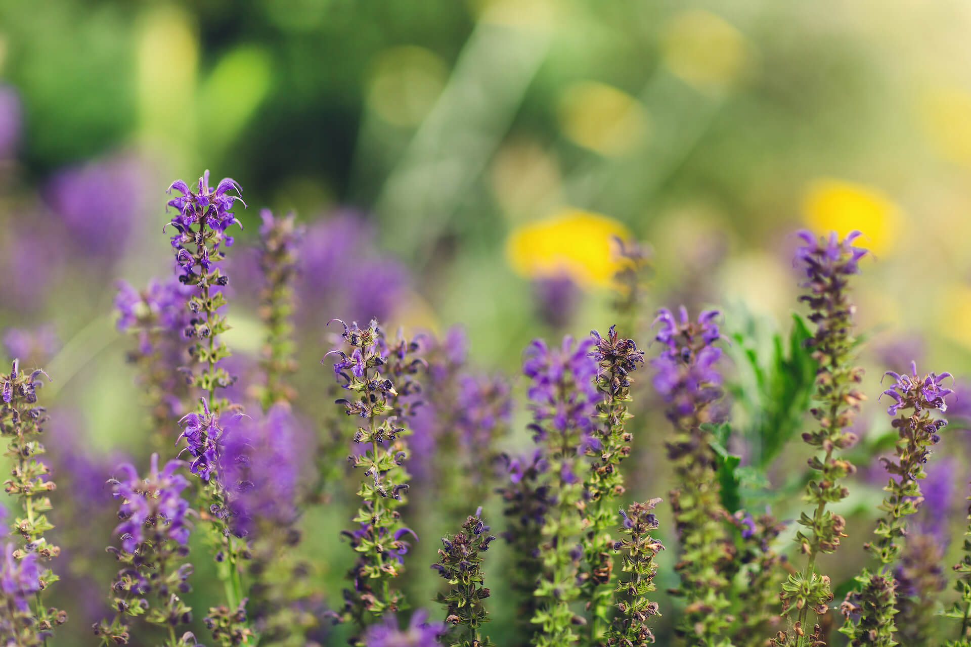 Orvosi zsálya, azaz Salvia Officinalis L.